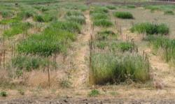 Interactions Between Seed Density, Seedling Thinning Dynamics, and Nutrient Supply in California Grasslands